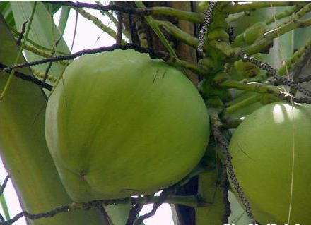 Tác dụng của quả dừa, tac dung cua qua dua