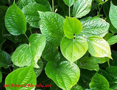 Công dụng chữa bệnh của lá lốt, cong dung chua benh cua la lot